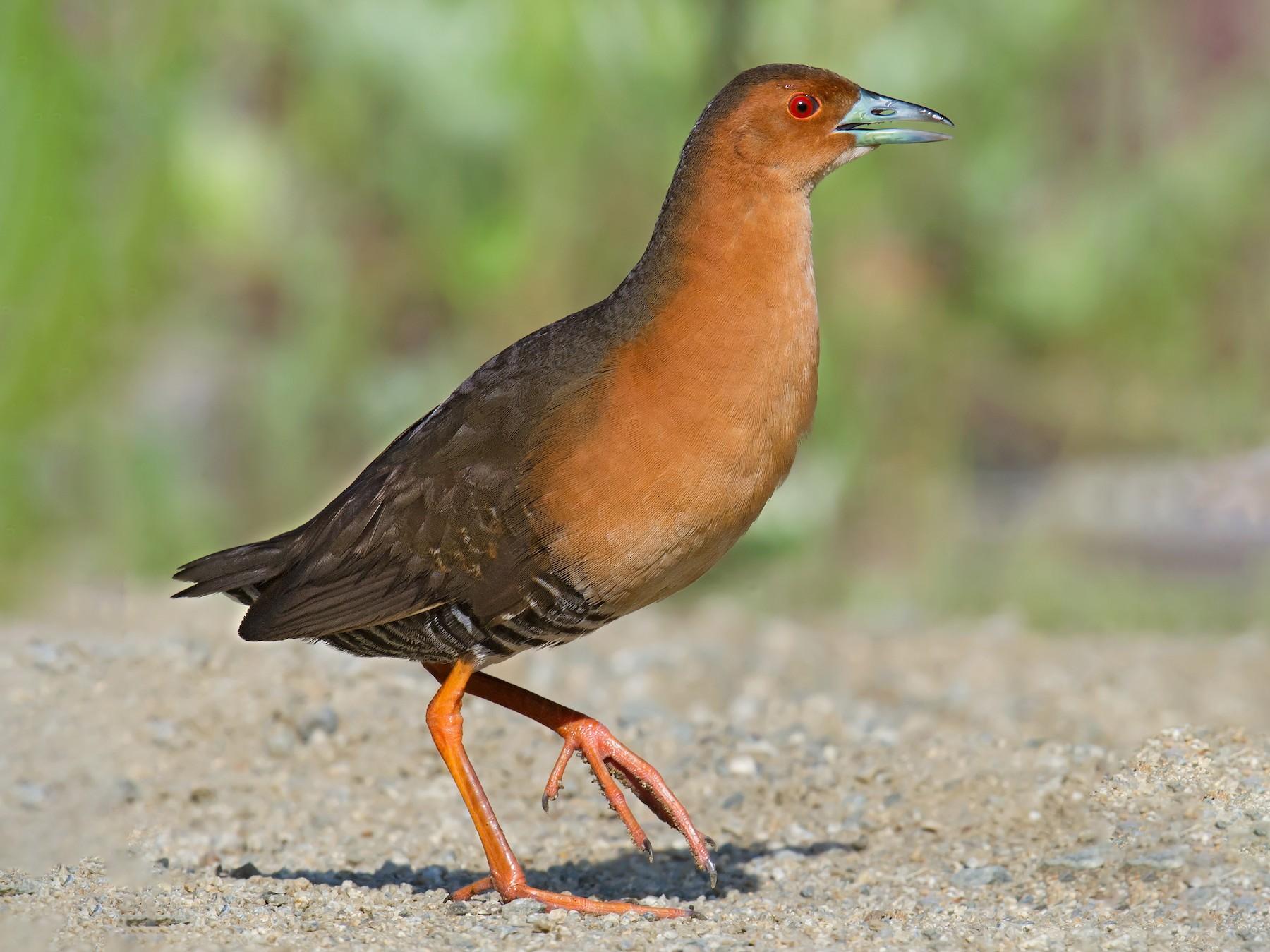 Красноногий погоныш Птица Амурской области