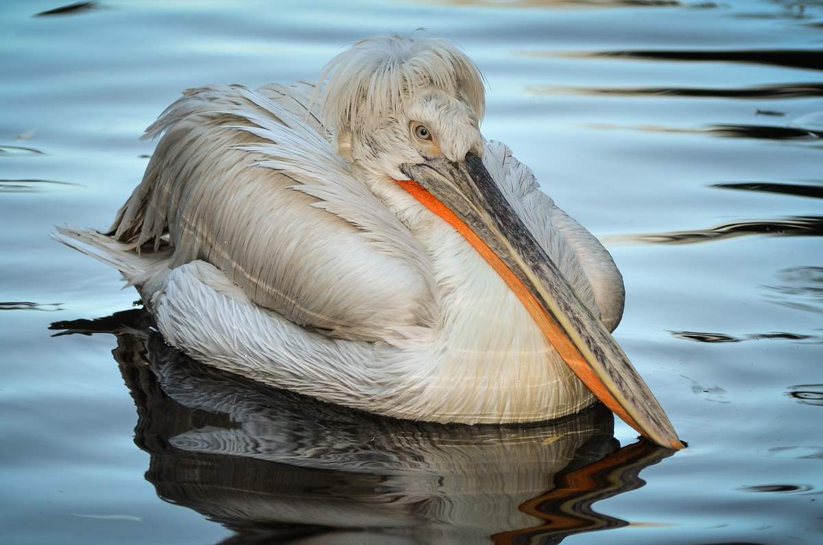Кудрявый пеликан Птицы Сибири