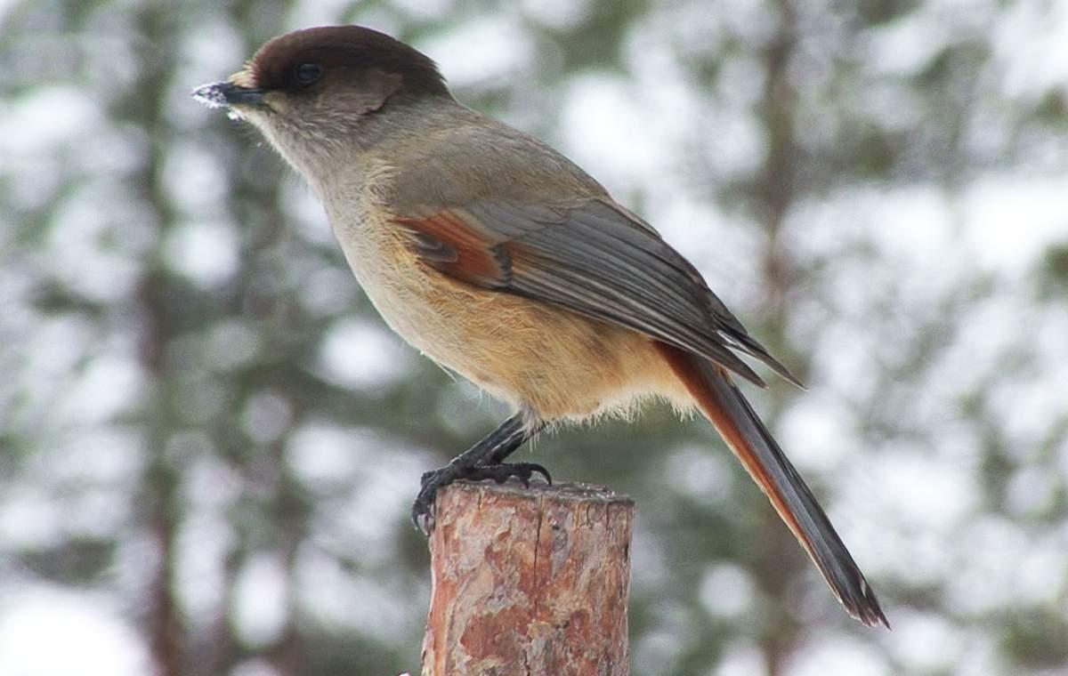 Кукша Птицы Сибири