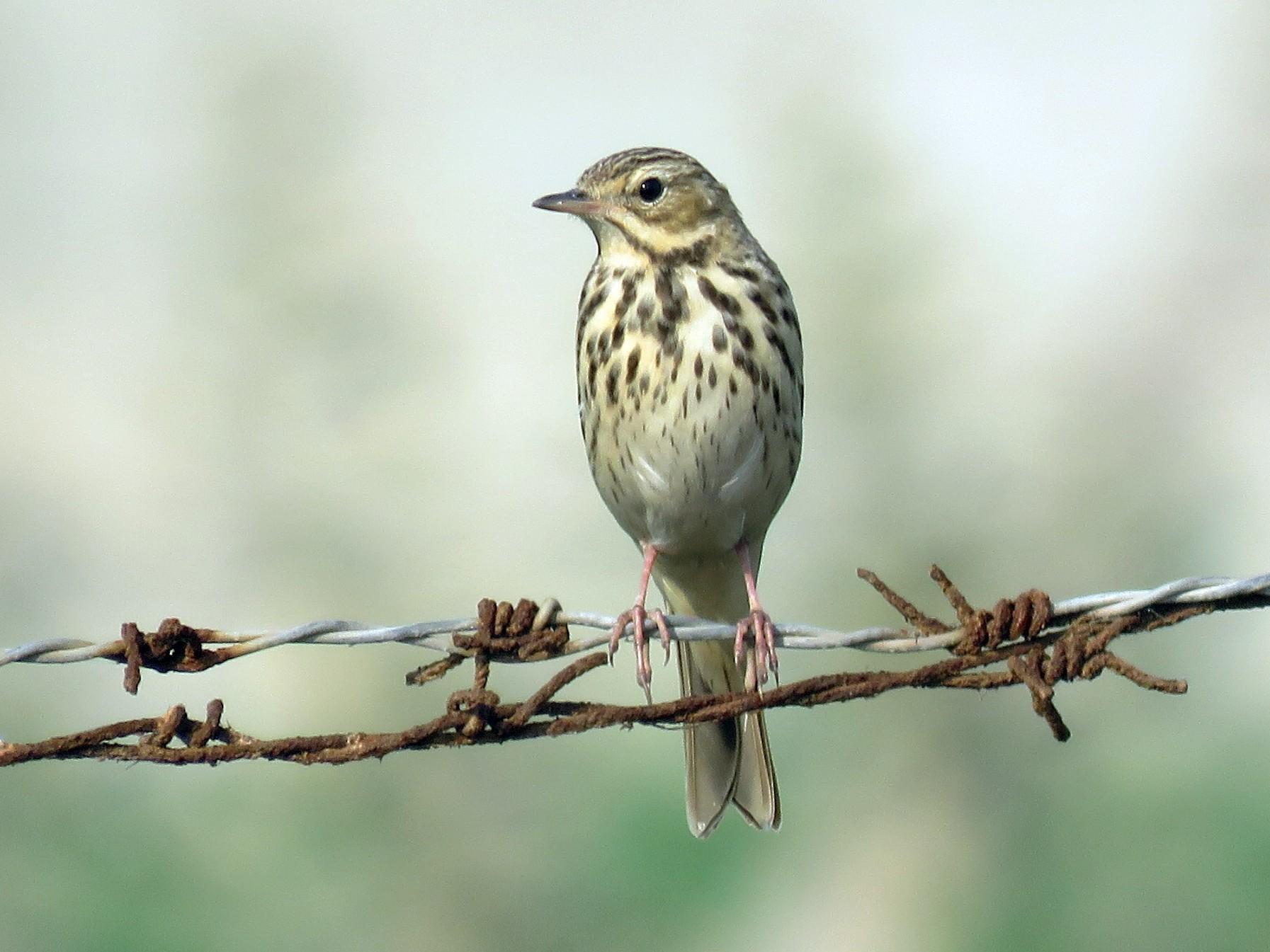 Лесной конек Птица Новосибирска