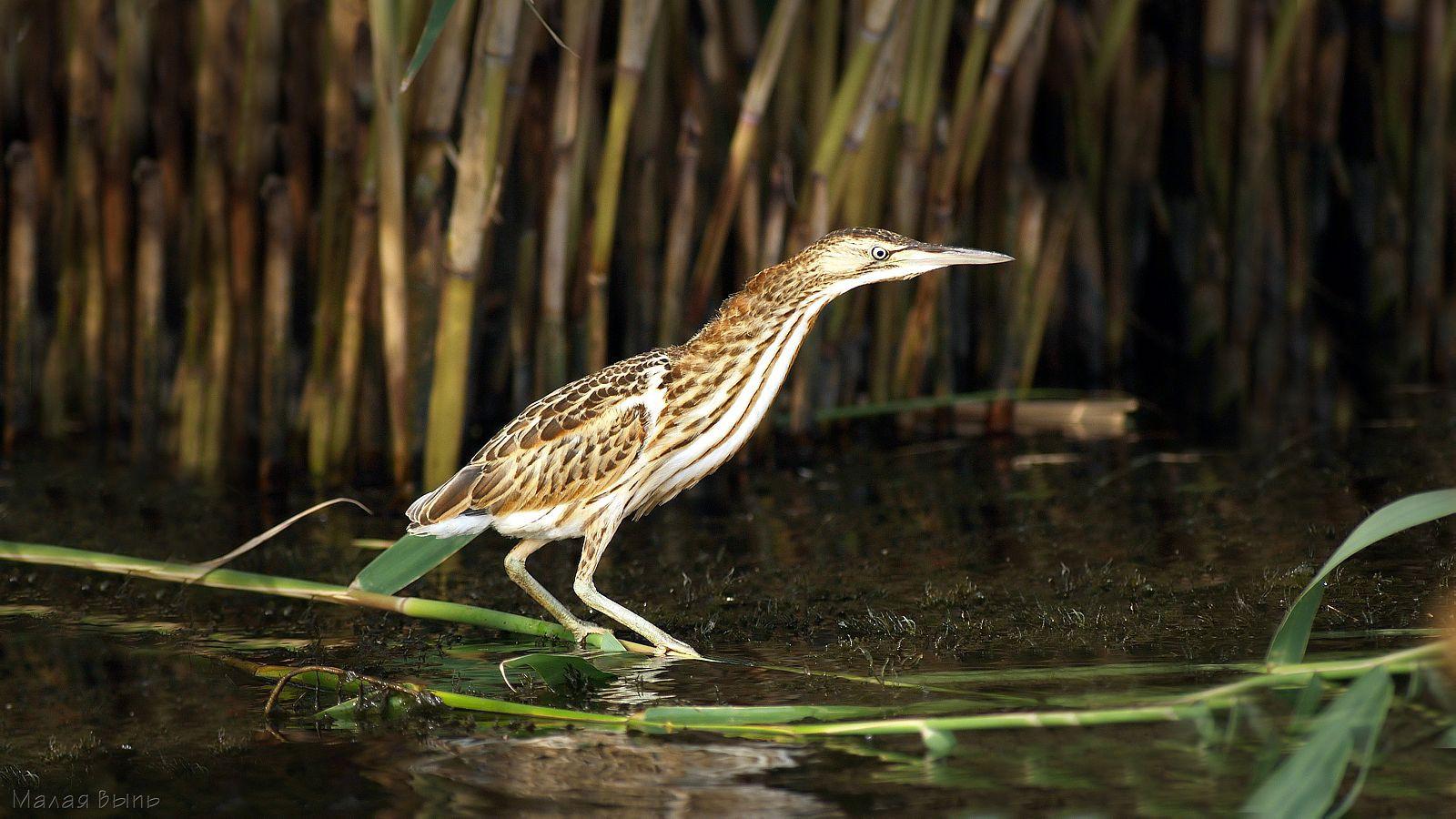 Малая выпь Птицы Калужской области