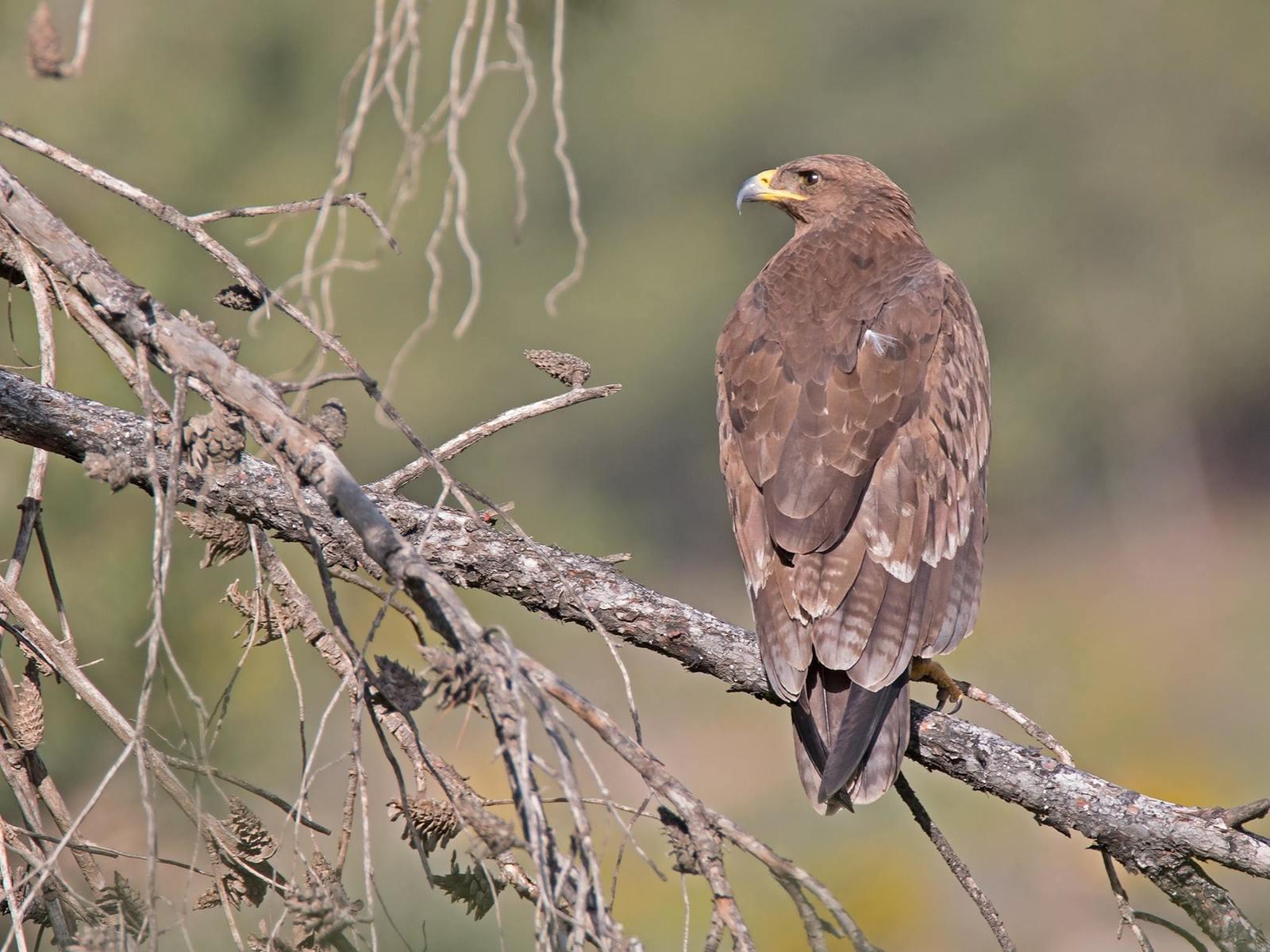 Малый подорлик Птицы Калужской области