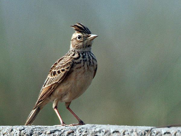 Малый жаворонок Птицы Крыма