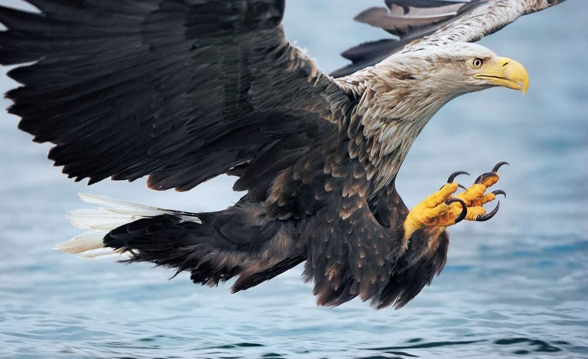 Орлан-белохвост Птица Санкт-Петербурга