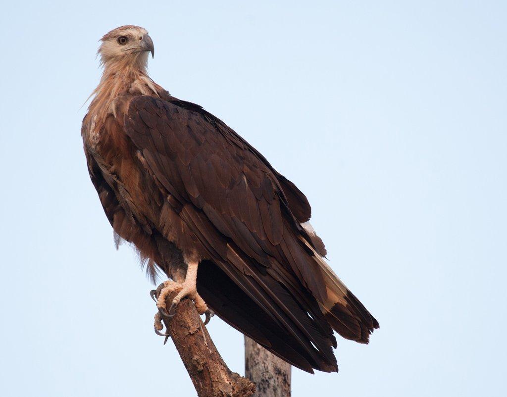 Орлан-долгохвост Птица Ростовской области