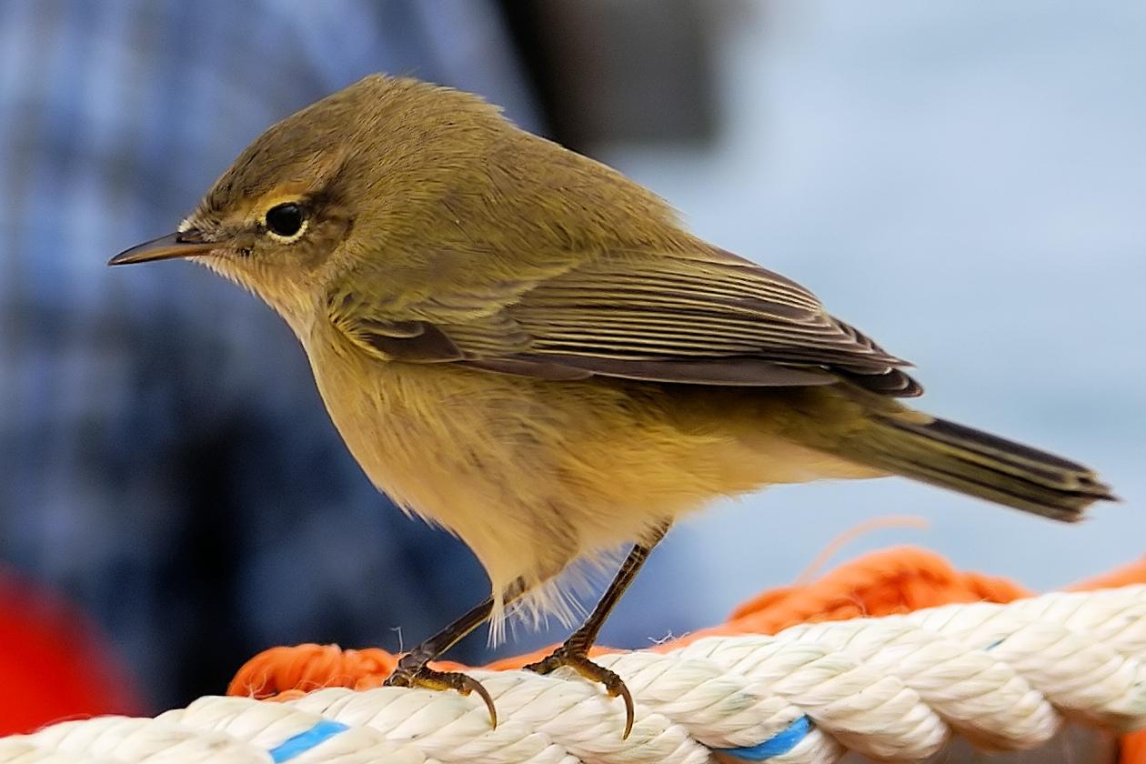 Пеночка-теньковка Птица Санкт-Петербурга