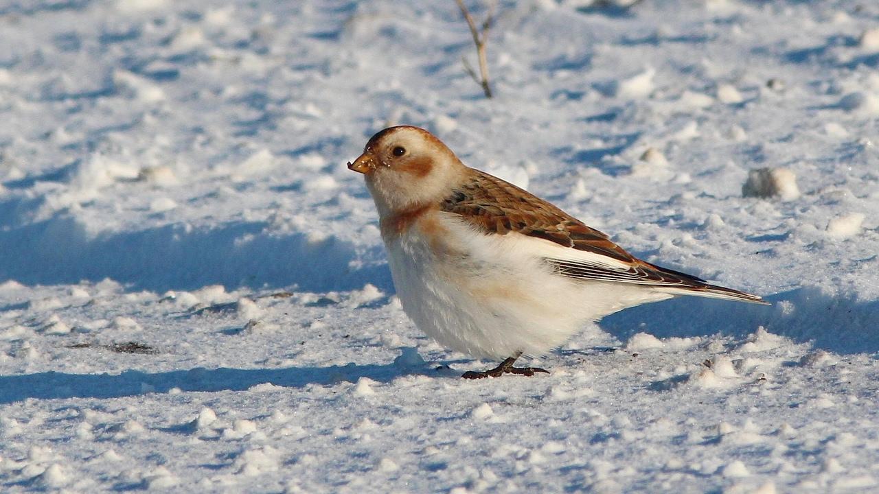 Пуночка Птица Новосибирска
