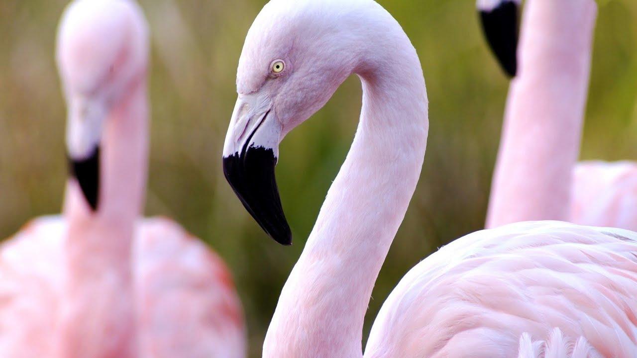 Фламинго Птица Ростовской области