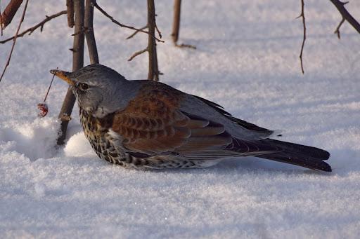 Рябинник Птицы Днепропетровской области