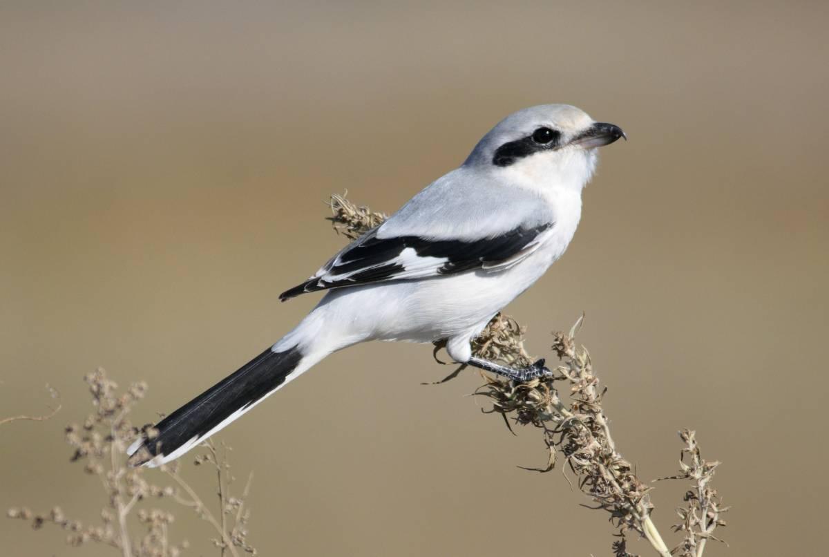 Серый сорокопут Птица Сибири
