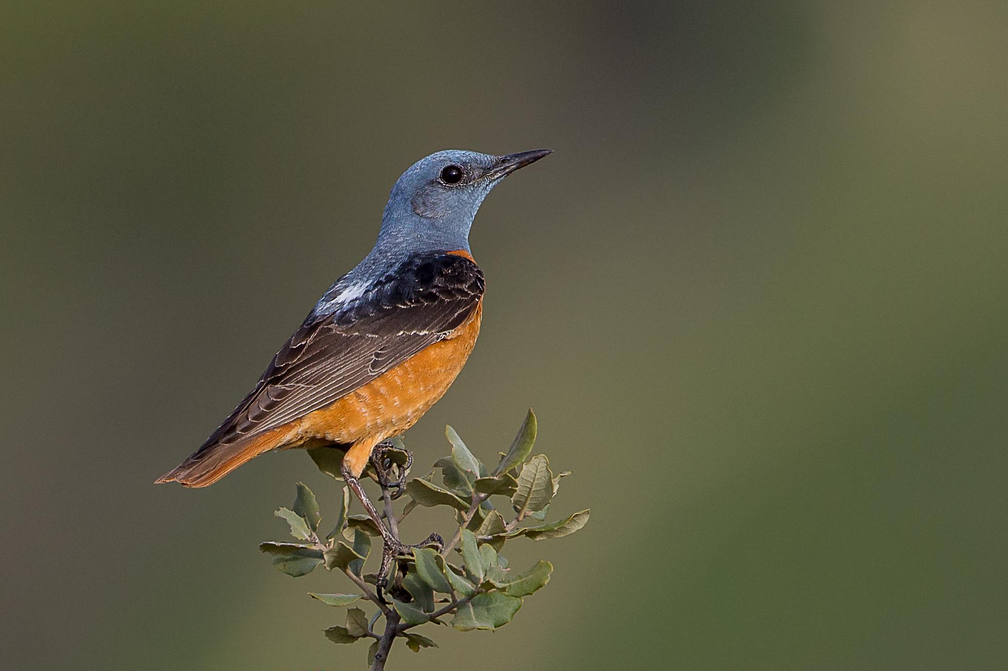 Пестрый скаловый дрозд Птицы Крыма