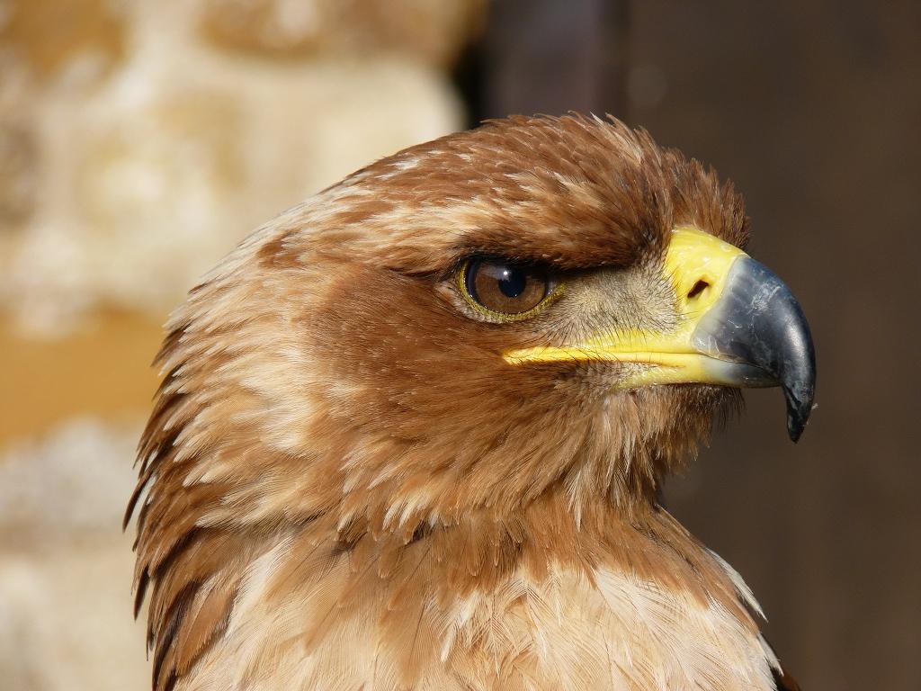 Степной орел Птица Сибири