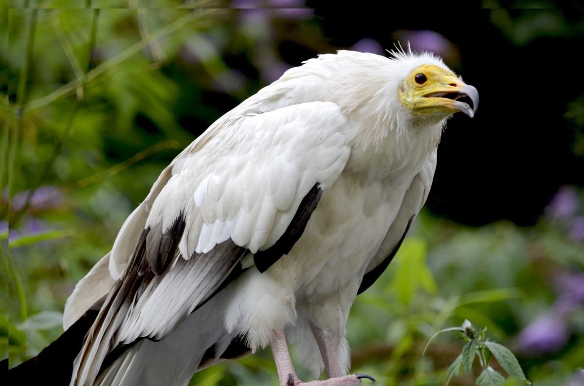 Стервятник Птицы Сибири
