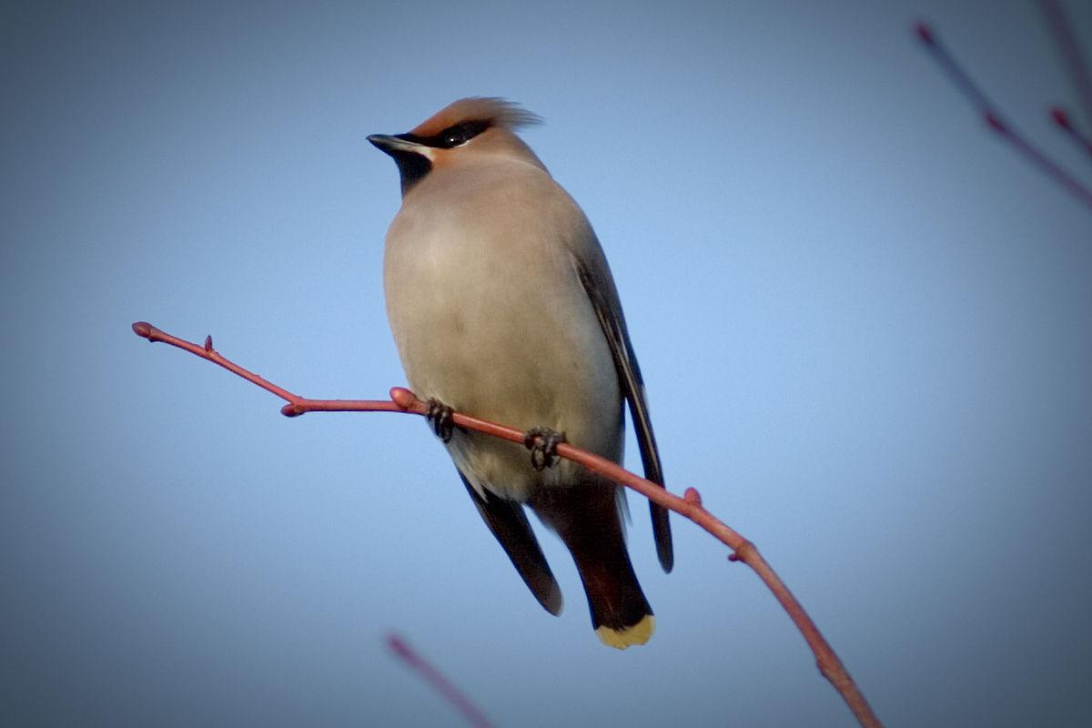 Свиристель Птицы Запорожской области