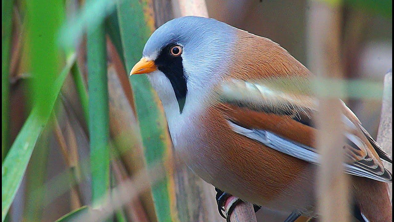 Усатая синица Птица Белгородской области