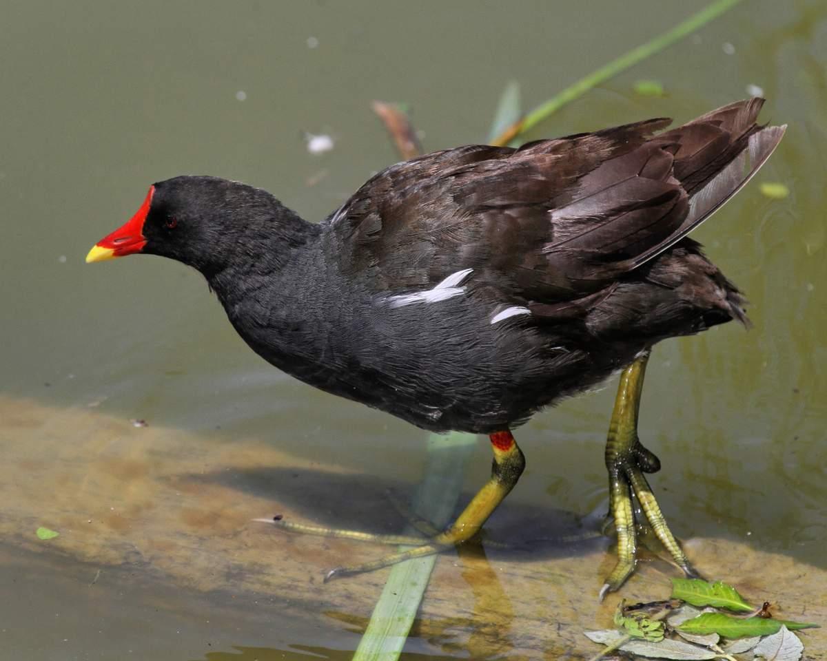 Водяная курочка Птицы Крыма