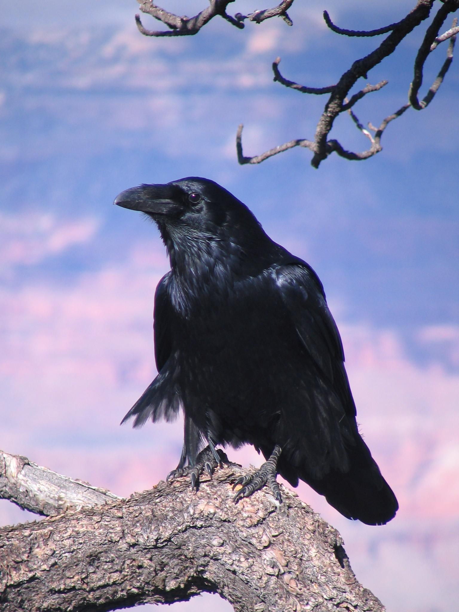 Ворон Птицы Крыма