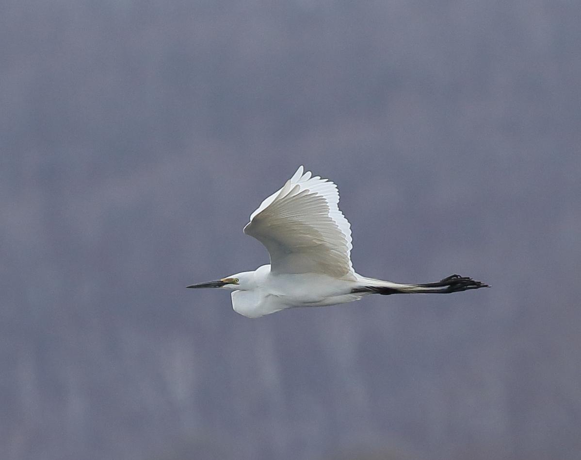 Восточная белая цапля Птица Амурской области