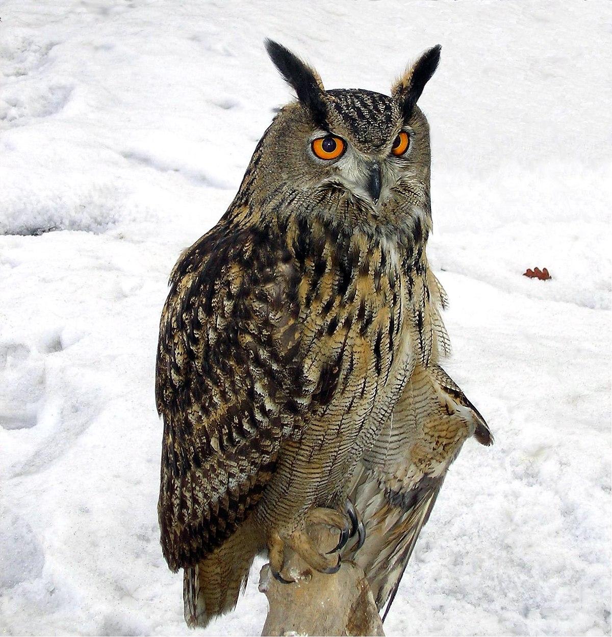 Западносибирский филин Птица с Тайги