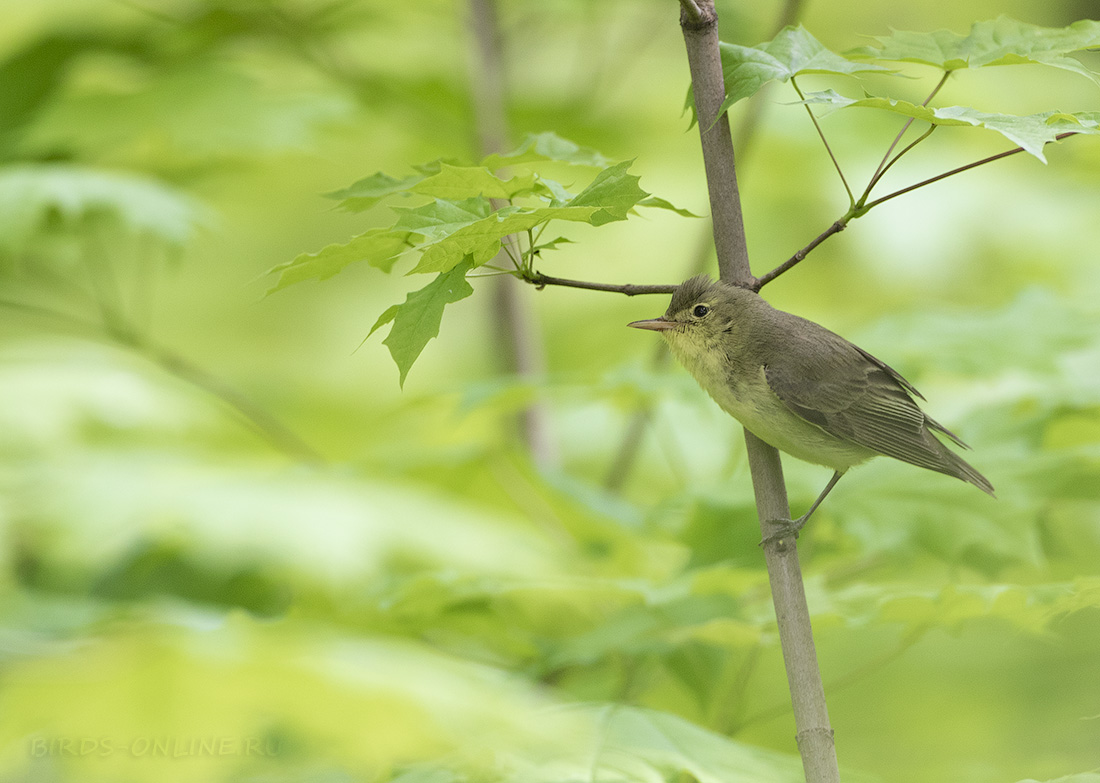 Зеленая пересмешка Птица Санкт-Петербурга
