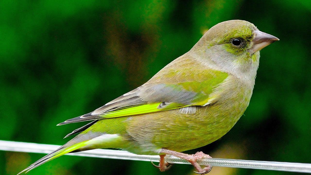 Зеленушка Птица Новосибирска