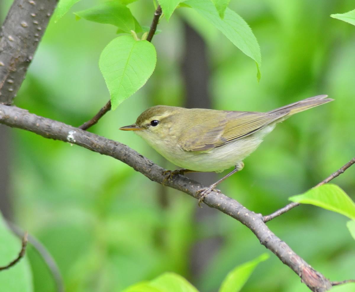 Зелёная пеночка Птицы Новосибирска