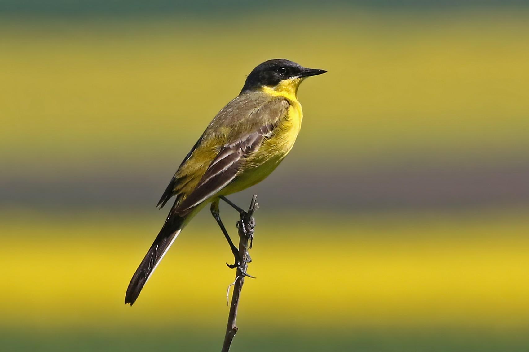 Желтая трясогузка Птицы Санкт-Петербурга