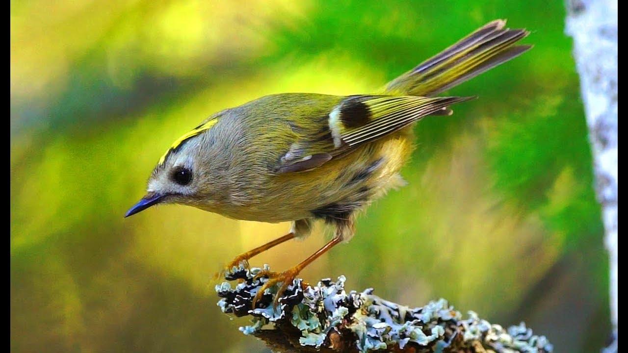 Желтоголовый королёк Птица Санкт-Петербурга