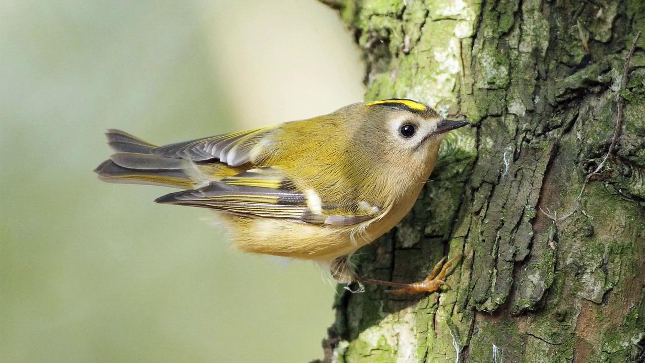 Жёлтоголовый королёк Птицы Новосибирска