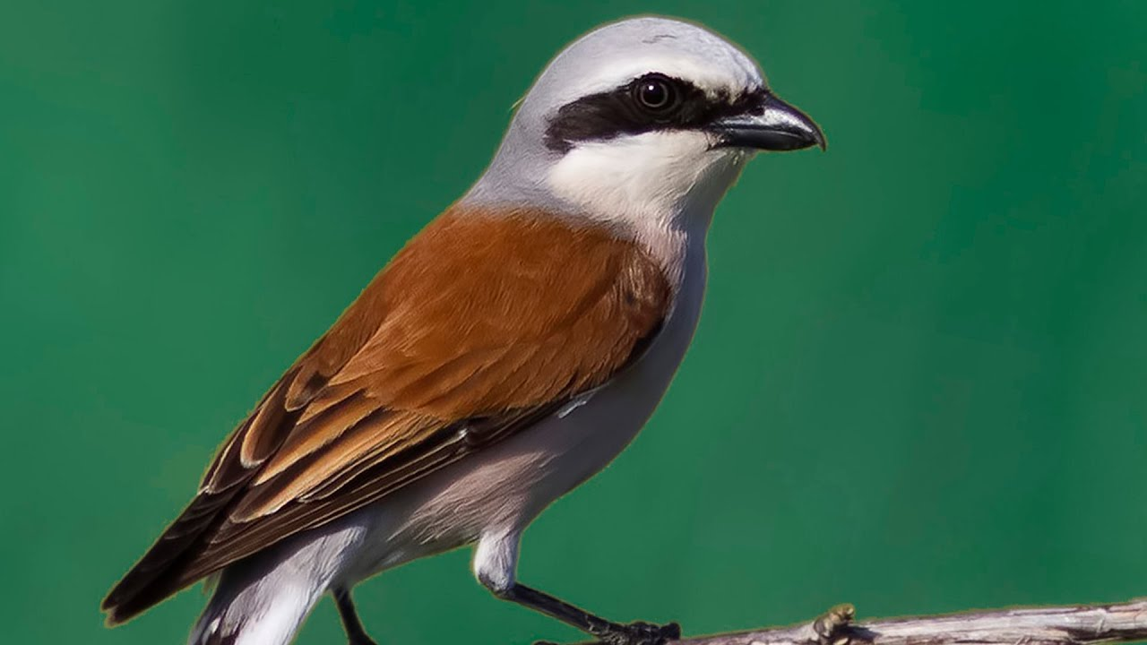 Жулан Птица Новосибирска