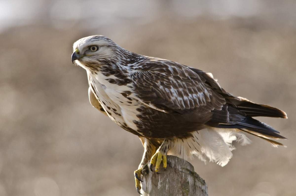 Зимняк Птицы Сибири