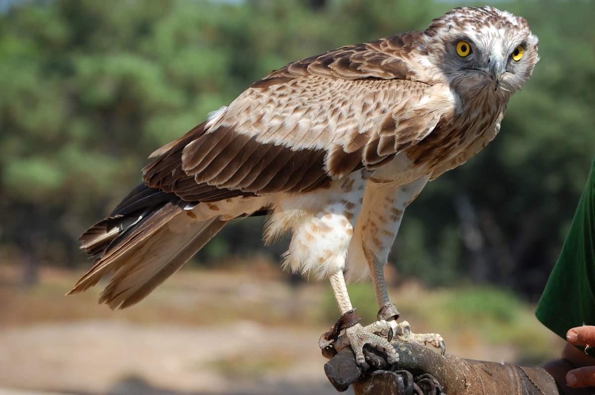Змееяд Птицы Крыма