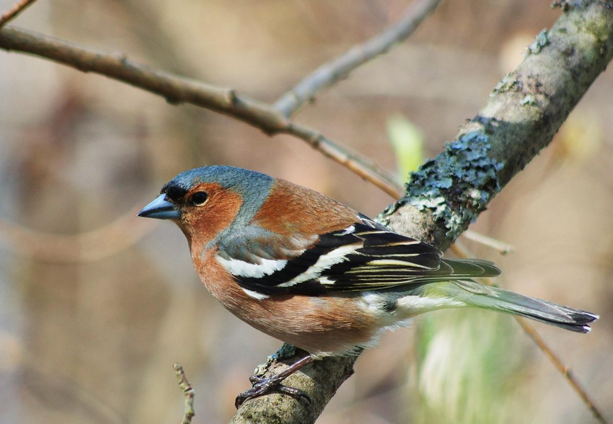 Зяблик Птица Новосибирска