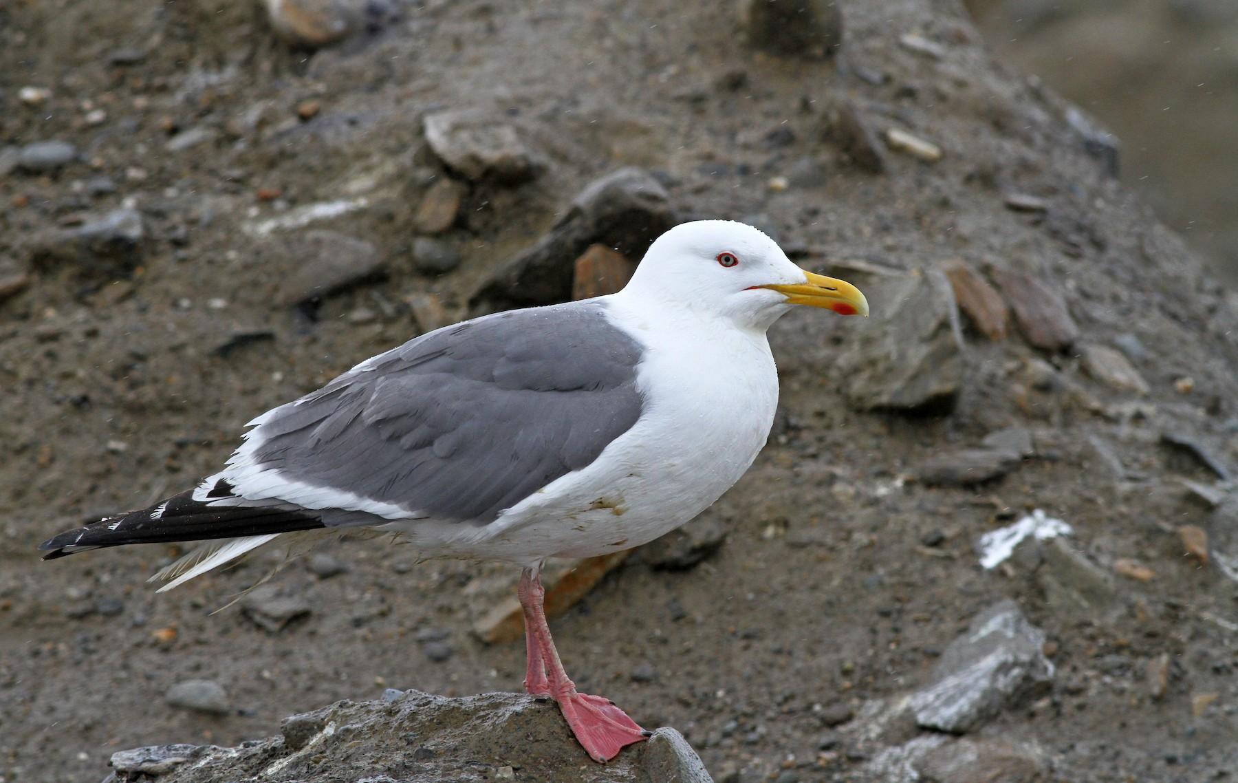 чайка серебристая в самарской области фото