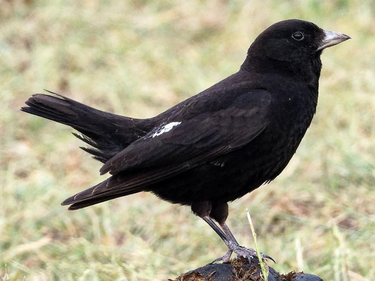 Черный жаворонок Птица Волгоградской области