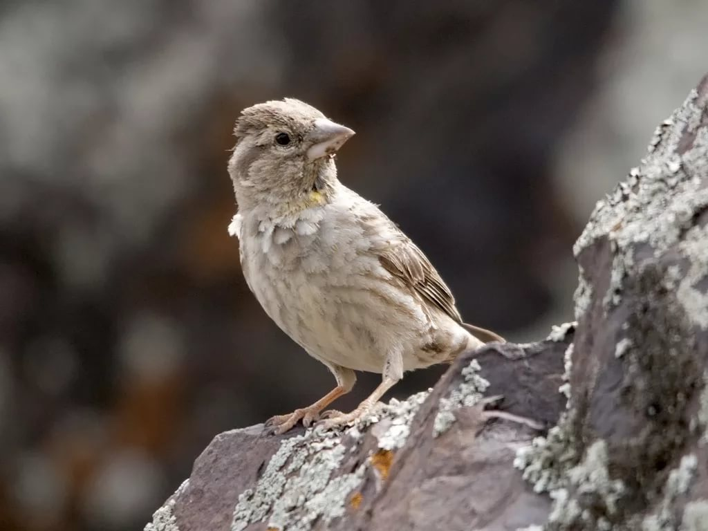 Каменный воробей Птица Забайкальского края