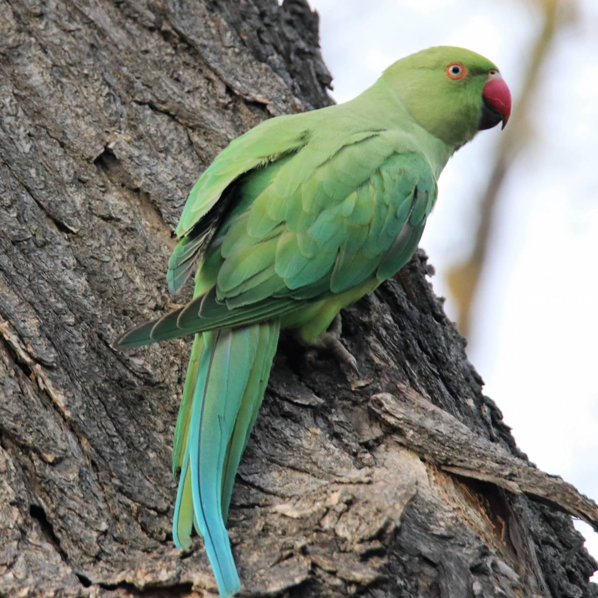 Крамер попугай Птицы Одессы