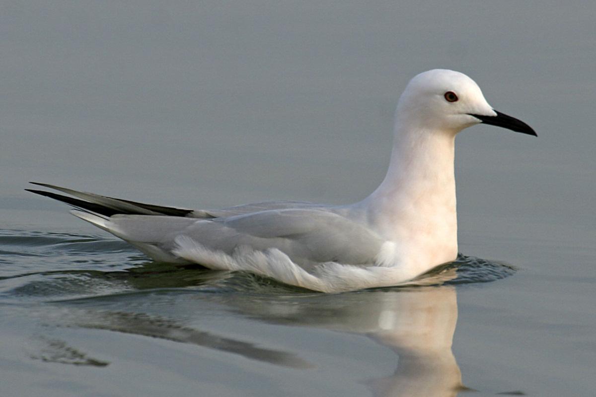 Морской голубок Птицы Калининградской области
