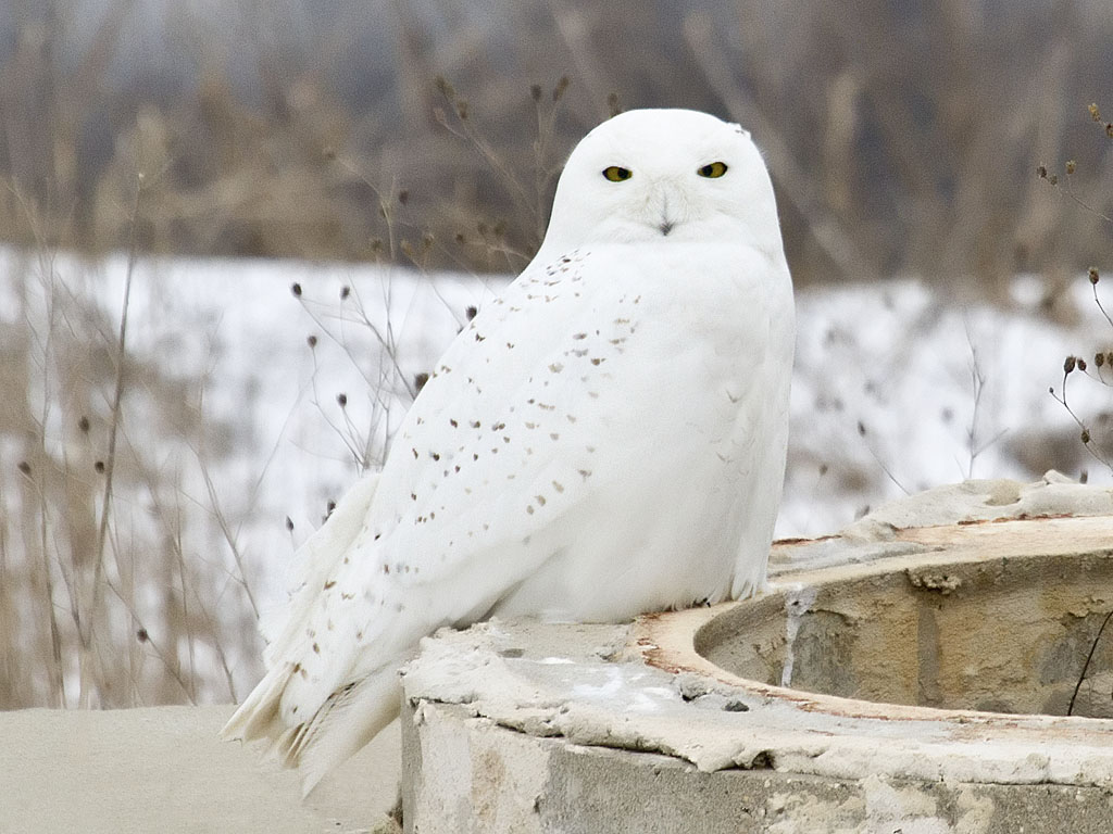Полярная сова Птица Кемеровской области