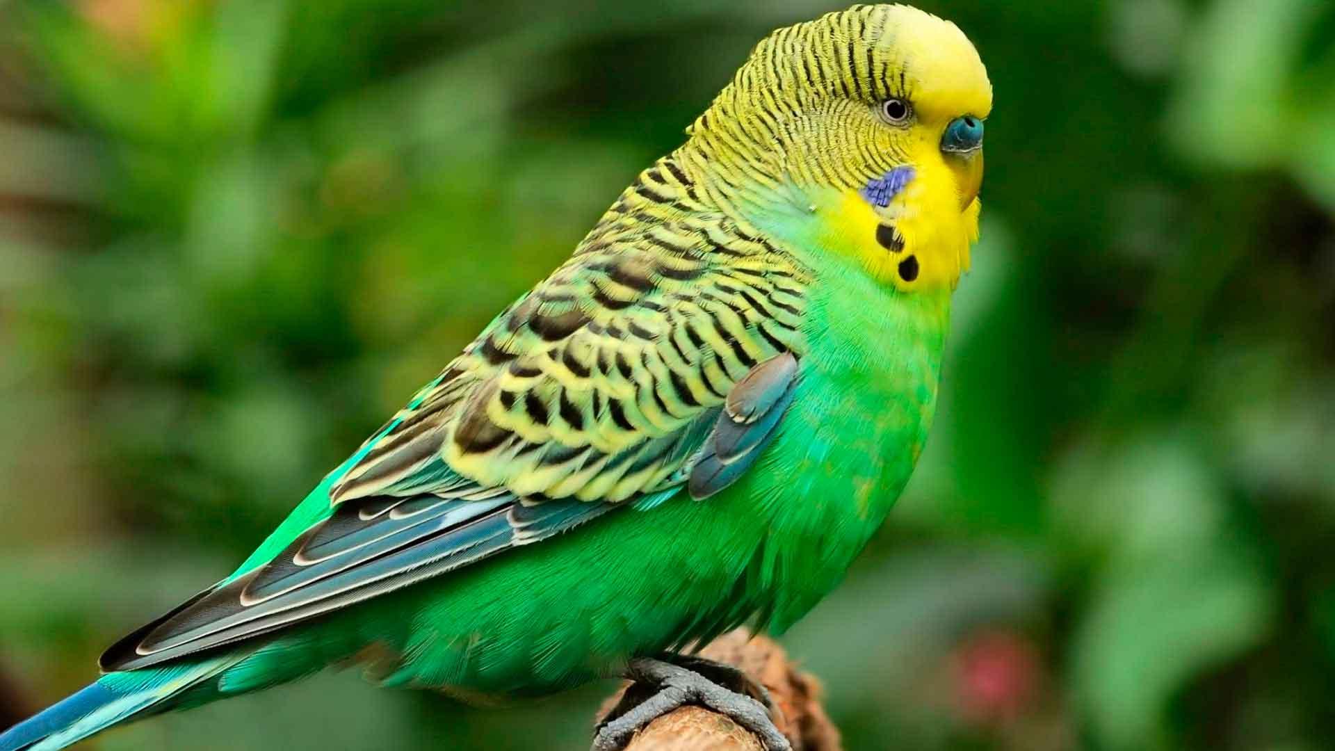 Волнистый попугай Птицы Киева