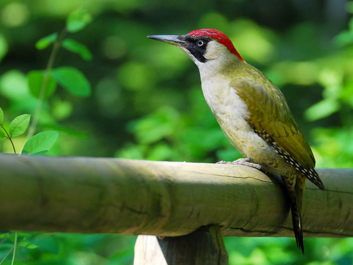 Зеленый дятел Птицы Харькова