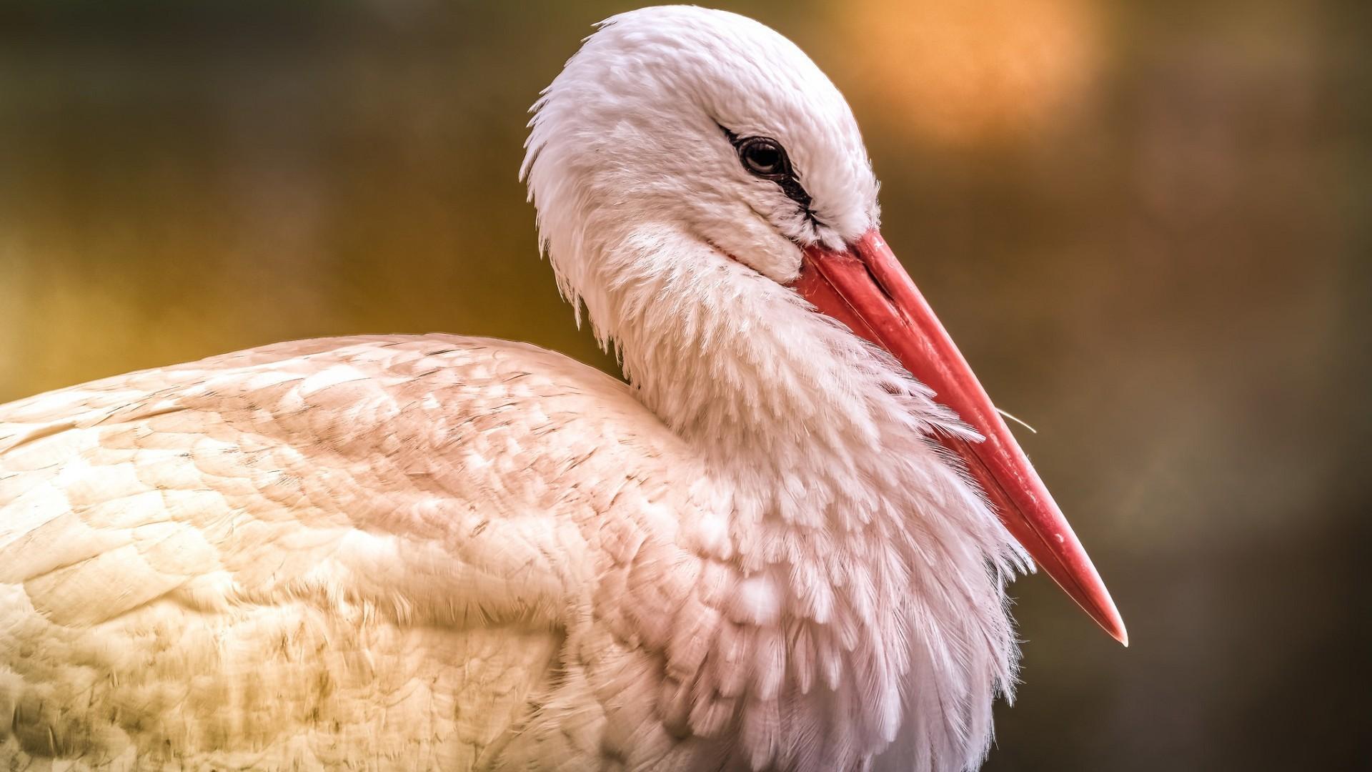 Белый аист в тюмени фото