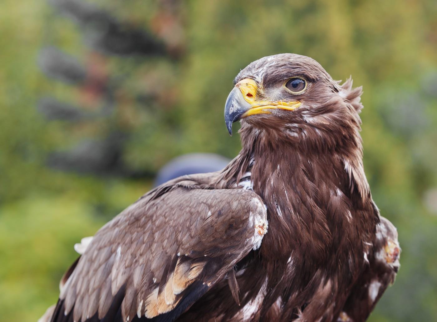 Степной орёл в тюменской области фото