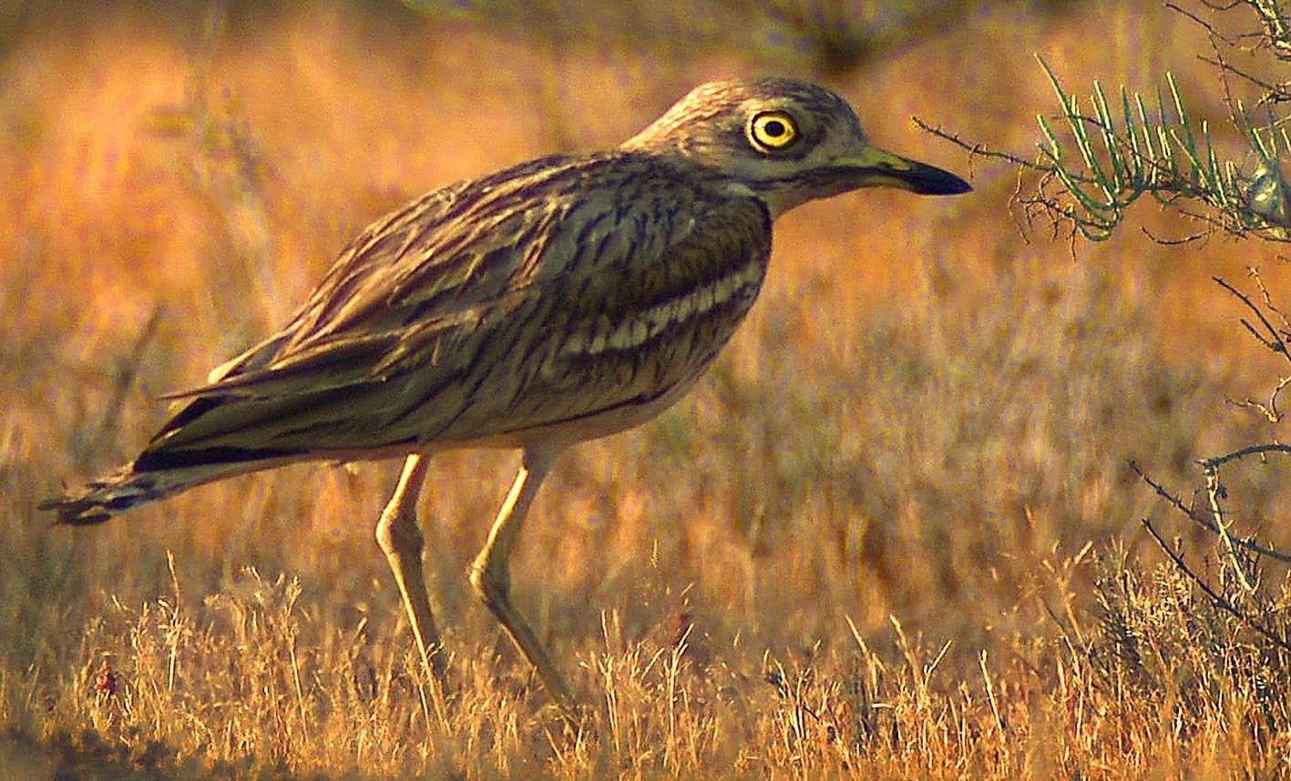 Обыкновенная авдотка в тюмени фото