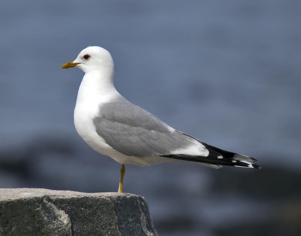 Сизая чайка в тюмени фото