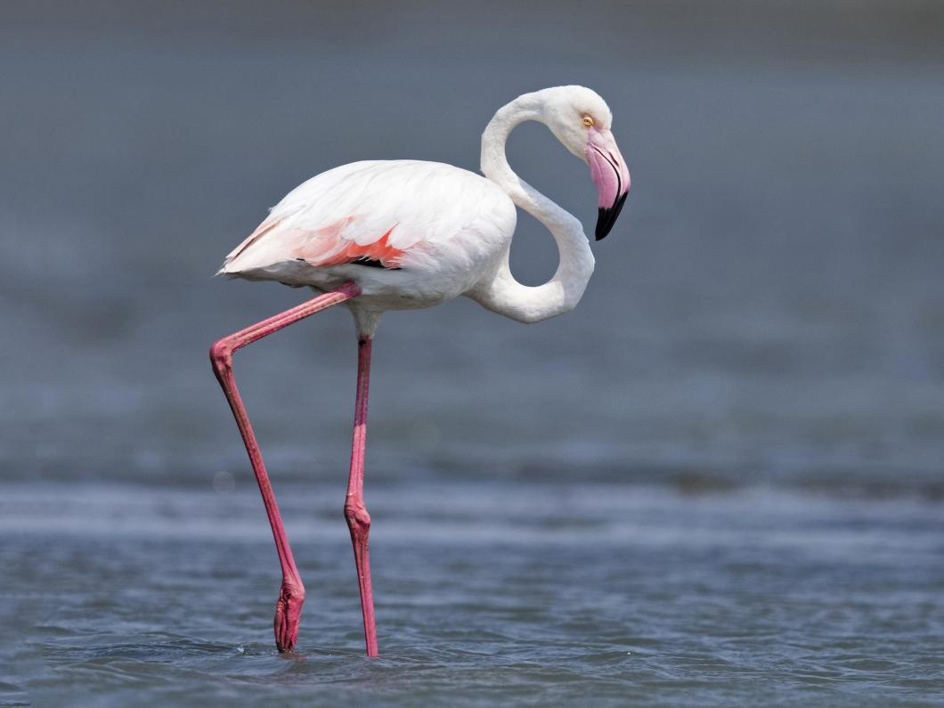 Розовый фламинго в тюмени фото