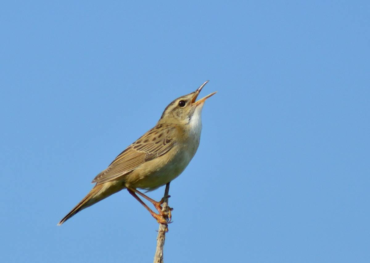 Певчий сверчок в тюмени фото