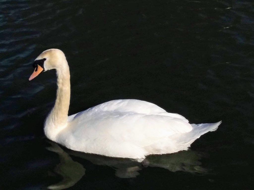 Лебедь-шипун в Донецке