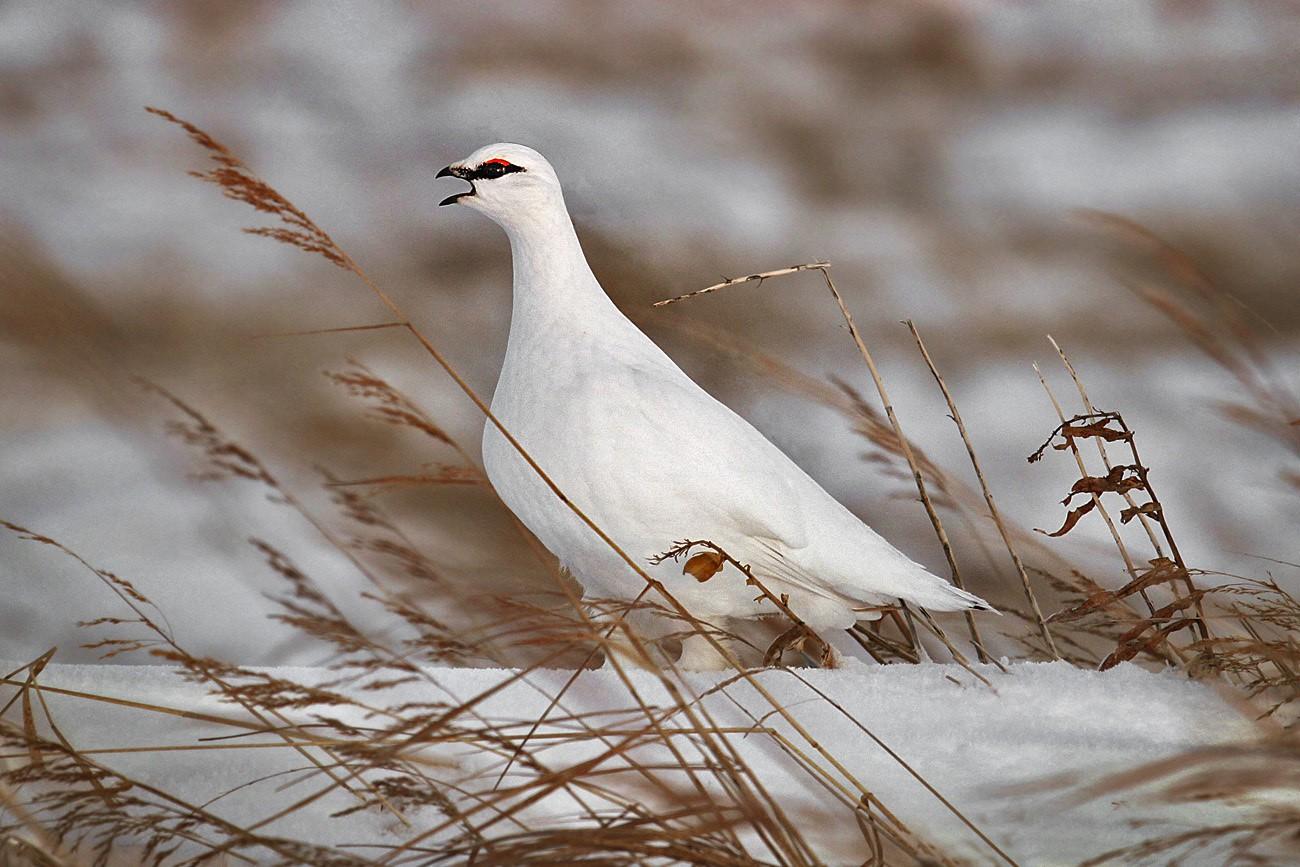 Куропатка белая в Нижегородской области