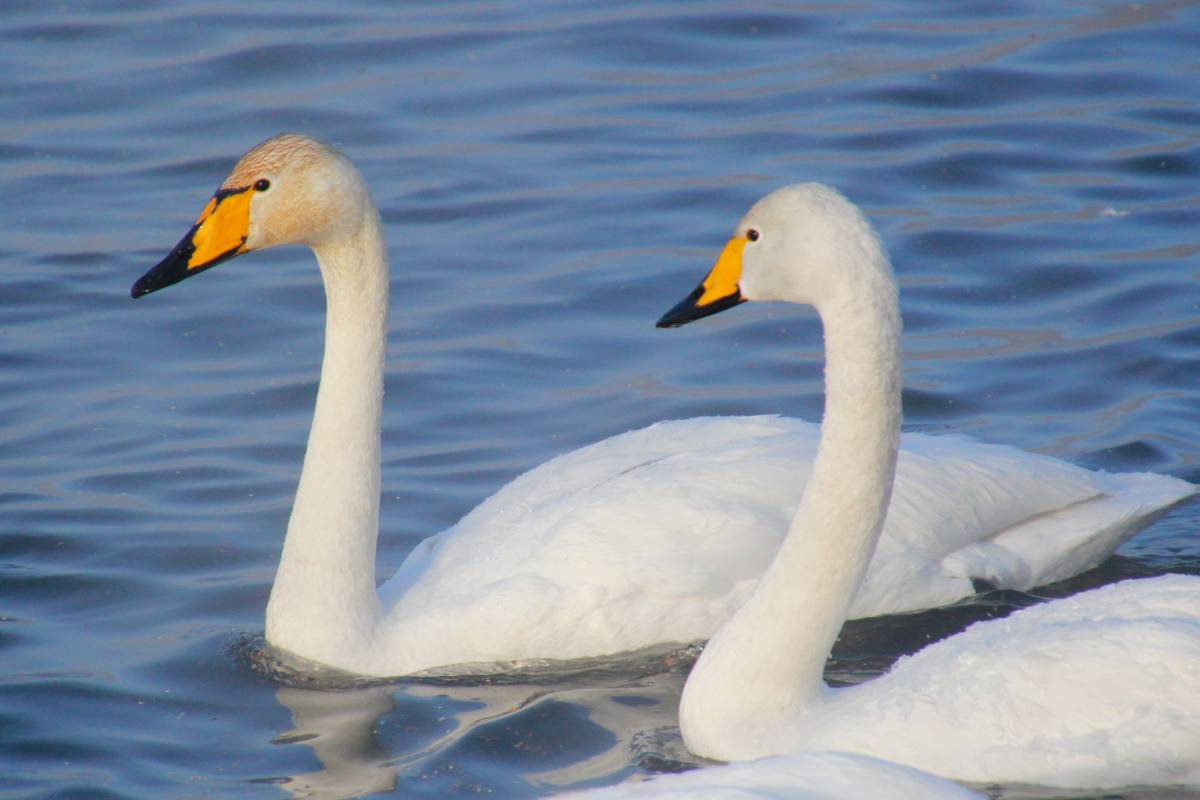Лебедь-кликун Вологодской области